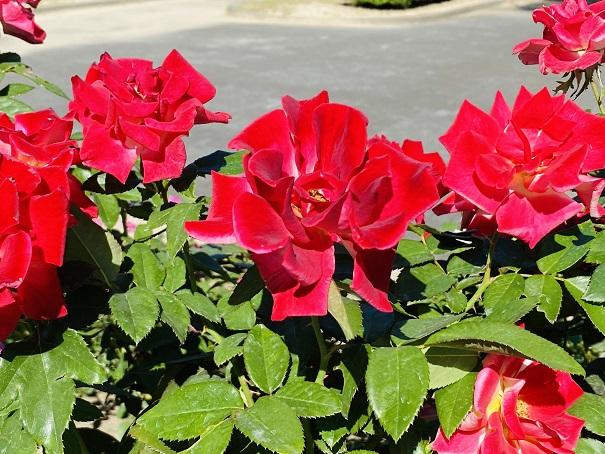 伊予三島運動公園 開いた花びらの赤いバラ