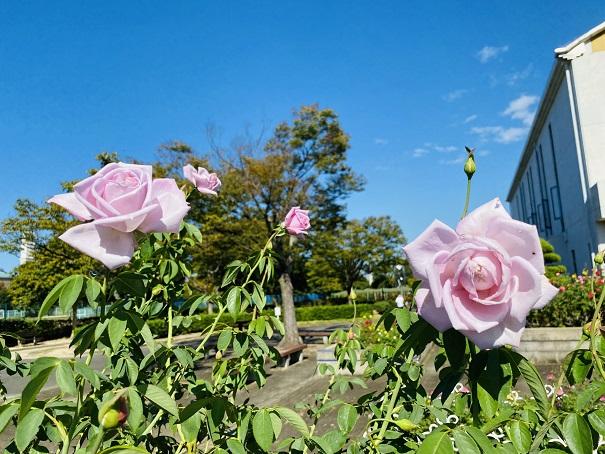 伊予三島運動公園 薄いピンクのバラと青い空