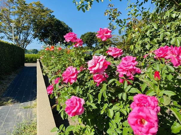 伊予三島運動公園 濃いピンクのバラたくさん