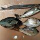 鎌野漁港で釣ったグレやタイゴやセイゴやサヨリやタナゴ
